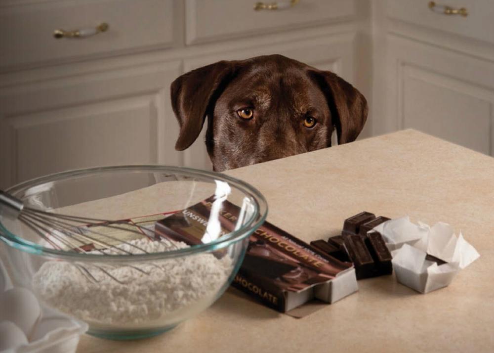 Cachorro querendo chocolate